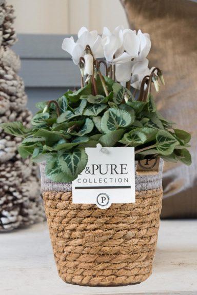 P024-0900-Cyclamen-p11-Picasso-white-in-Pure-Basket