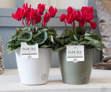 P031-0600-Cyclamen-p11-Picasso-red-in-Expression-ceramics-shiny-white_matt-grey