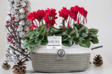 P031-0800-2x-Cyclamen-p11-Picasso-red-in-Fieldbasket
