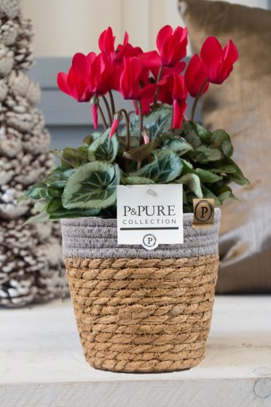P031-0900-Cyclamen-p11-Picasso-red-in-Pure-Basket