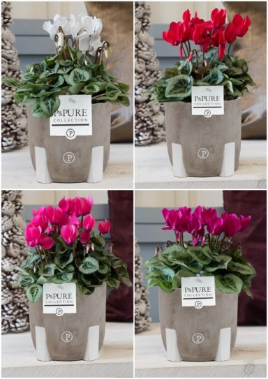 P161-0700-Cyclamen-p11-Pisasso-mix-in-Jade