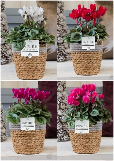 P161-0900-Cyclamen-p11-Picasso-mix-in-Pure-Basket