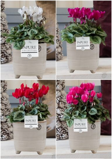 P161-1200-Cyclamen-p11-Picasso-mix-in-Lauren