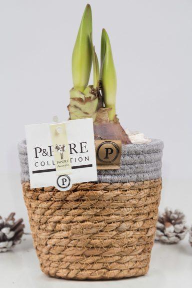 PC02-108-Amaryllis-p12-white-in-Pure-Basket