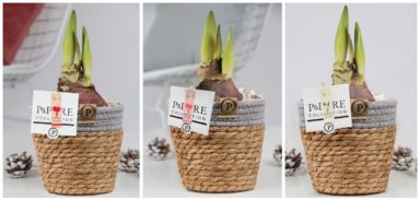 PC02-110-Amaryllis-p12-mix-in-Pure-Basket