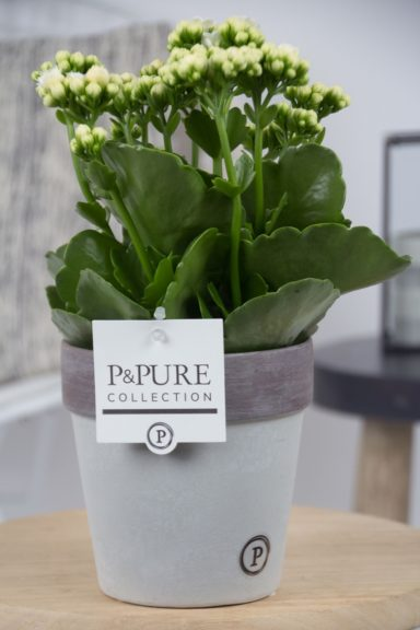 PC02-220-Kalanchoe-p12-white-in-Pure-Clay-2-grey