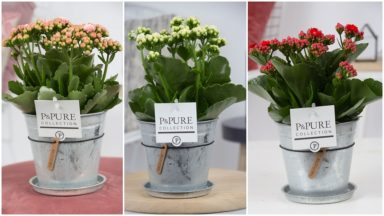 PC02-244-Kalanchoe-p12-mix-in-zinc-pot-Louise-2