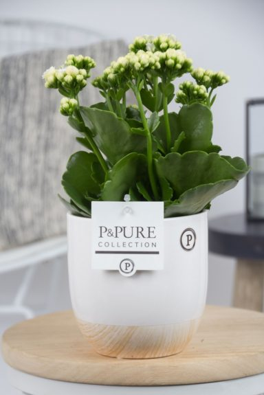 PC0245-Kalanchoe-p12-white-in-Emily-cer.-white