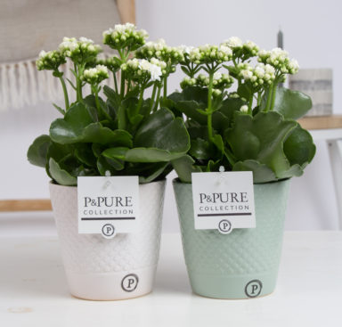 PC02-286-Kalanchoe-p12-white-in-Expression-cer.-light