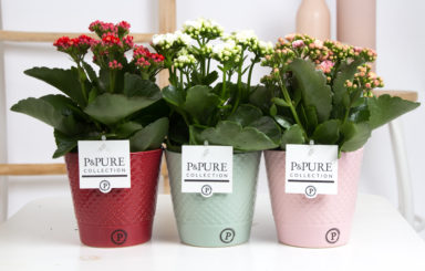 PC0290-Kalanchoe-p12-mix-in-Expression-ceramics-ass.-3