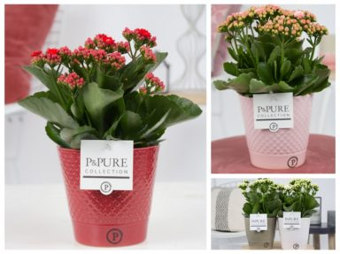 PC02-290-Kalanchoe-p12-mix-in-Expression-ceramics-assorti