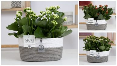 PC02-299-2x-Kalanchoe-p12-mix-in-Fieldbasket