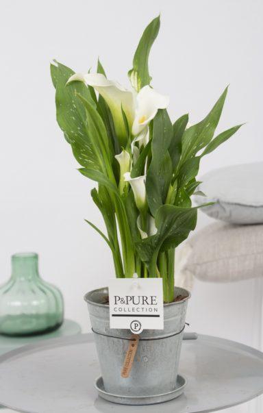 PC02-400-Zantedeschia-p12-white-in-zinc-pot-Louise-2-2