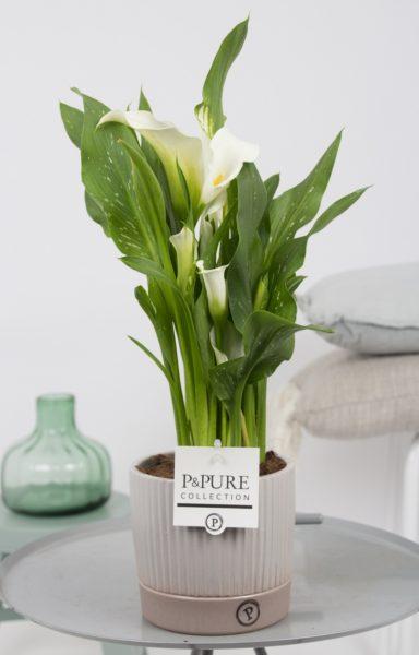 PC02-445-Zantedeschia-p12-white-in-Lucille-ceramics-grey