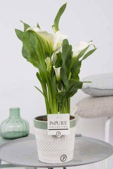 PC02-446-Zantedeschia-p12-white-in-Valerie-ceramics-green
