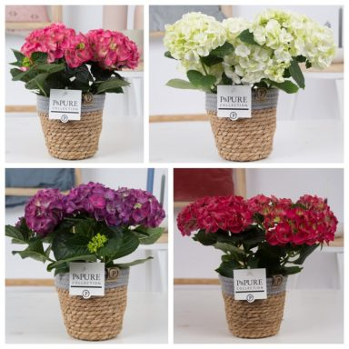 PC12-128O-Hydrangea-mix-p12-in-Pure-Basket