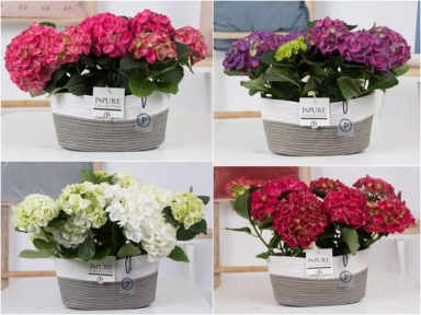 PC12-148O-Hydrangea-mix-p12-x2-in-Fieldbasket
