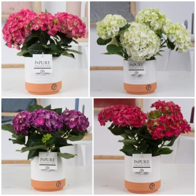 PC12-167-Hydrangea-mix-p12-in-Milou