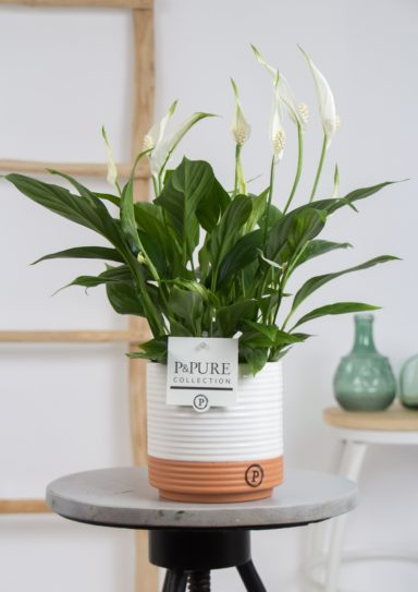 PC15-016-Spathiphyllum-p12-in-Pure