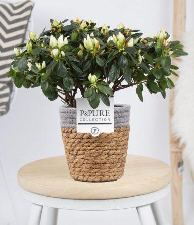 PC15-110-Azalea-p12-white-in-Pure-Basket