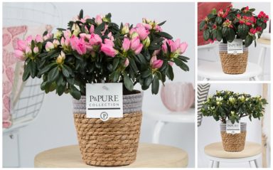 PC15-111-Azalea-p12-mix-in-Pure-Basket