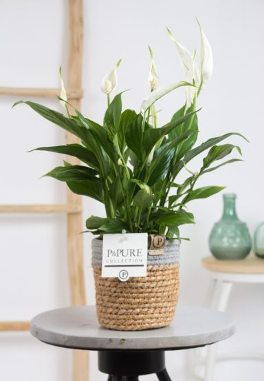 PC15-127O-Spathiphyllum-p12-in-Pure-Basket