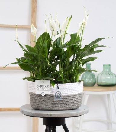 PC15-146O-2x-Spathiphyllum-p12-in-Fieldbasket