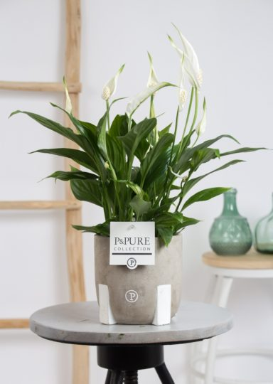 PC15-14O-Spathiphyllum-p12-in-Jade-3-cer.