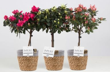 PC15-204-Azalea-mix-in-Basket