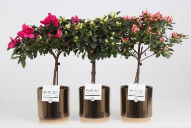 PC15-228-Azalea-mix-in-Julia-cer.