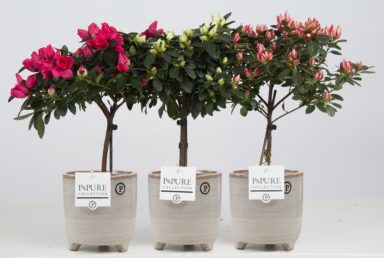 PC15-248-Azalea-mix-in