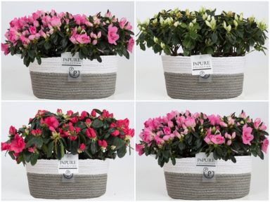 PC156-2x-Azalea-p12-mix-in-Fieldbasket