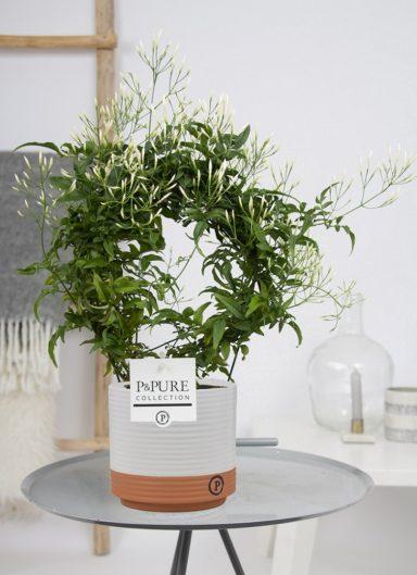 PC19-16-Jasminum-p1200-bloem-in-Bijoux-ceramics-white