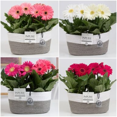 T12-2PC05-038O-Gerbera-p12-mix-in-Fieldbasket