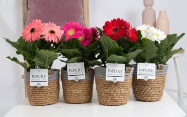 T12-PC05-027O-Gerbera-p12-mix-in-Pure-Basket