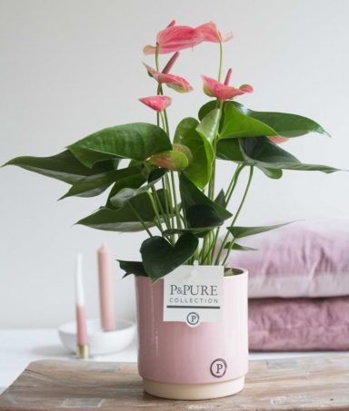 12.151.257-DM-Anthurium-p12-pink-in-Julia-ceramics-pink