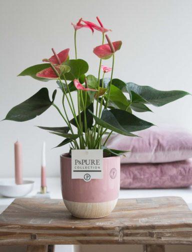 12.151.277-DM-Anthurium-p12-pink-in-Emily-ceramics-pink