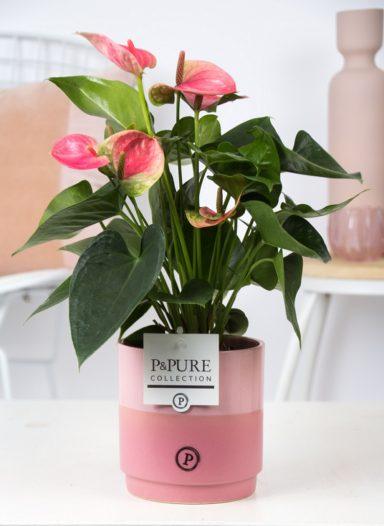 12.151.407-DM-Anthurium-p12-pink-in-Juliette-ceramics-pink
