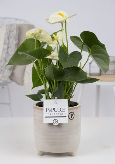 12.169.358-DM-Anthurium-p12-white-in-Lauren