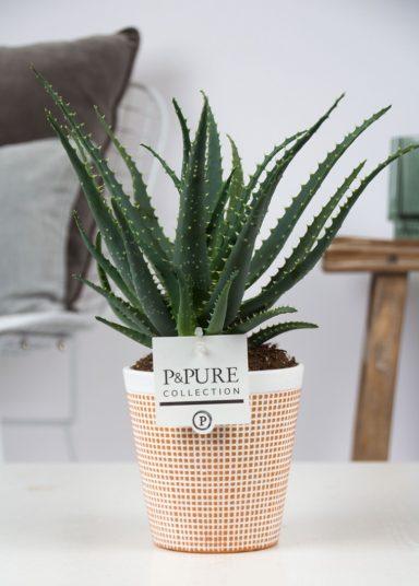 AA-IN-PC17-63-Aloe-Aborescens-p12-in-Pure-Terra-Cotta