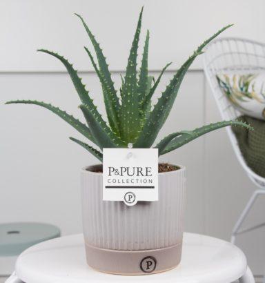 ARBORLUCILLE-Aloe-Aborescens-p12-in-Lucille-ceramics-grey