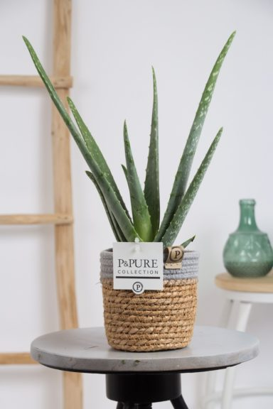 AV-IN-PC17-62-Aloe-Vera-p12-In-Pure-Basket