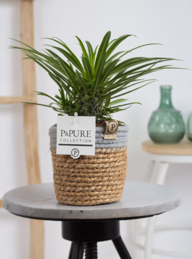 LAMEREBASKETO-Pachypoduim-Lamerei-in-Pure-Basket