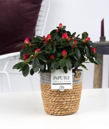 PC15-108-Azalea-p12-red-in-Pure-Basket