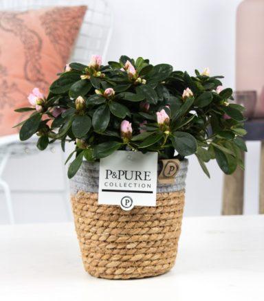 PC15-109-Azalea-p12-pink-in-Pure-Basket