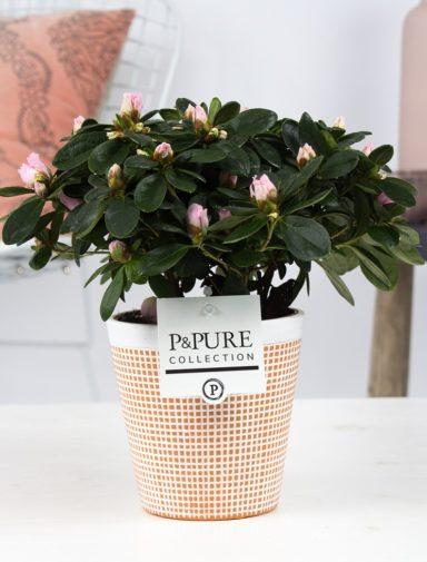 PC15-152-Azalea-p12-pink-in-Pure-Terra-Cotta