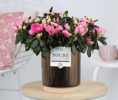 PC15-156-Azalea-p12-pink-in-Julia-ceramics-gold_bronze