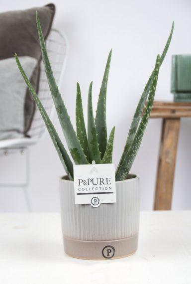 VERALUCILLE-Aloe-Vera-p12-in-Lucille-ceramics