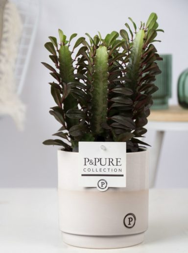 Euphorbia-Trigona-Rubra-in