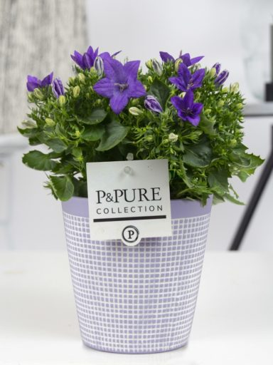 L002-0300-Campanula-p11-Atlanta-in-Pure-Clay-3
